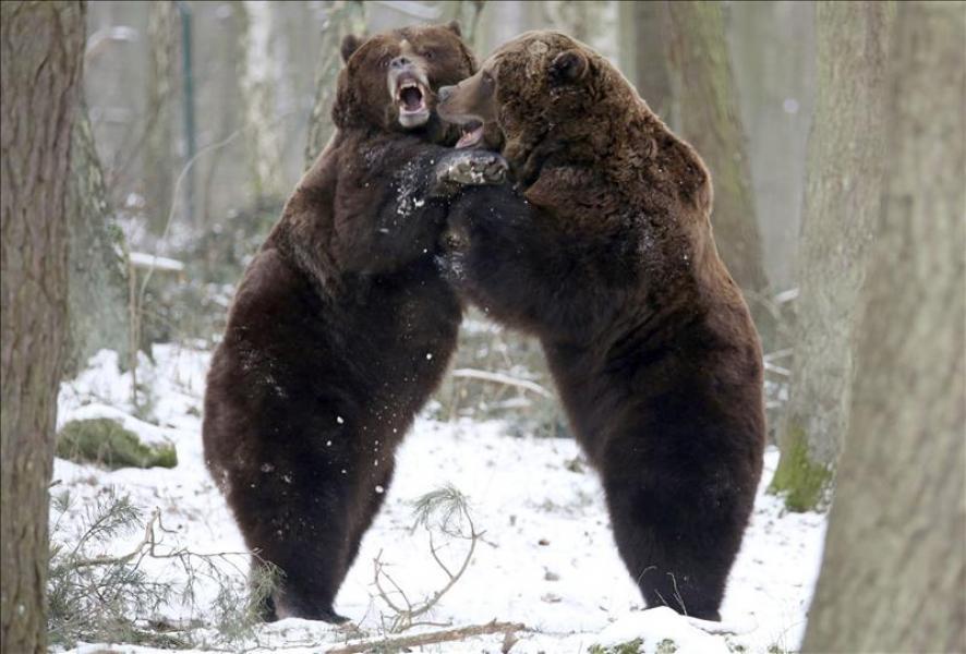 Más de 200 osos fueron asesinados en primer día de temporada de caza en EEUU