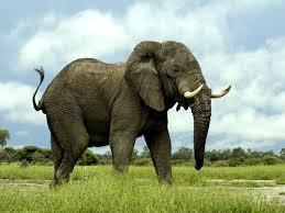 Estudio revela la razón de una mayor resistencia de los elefantes al cáncer