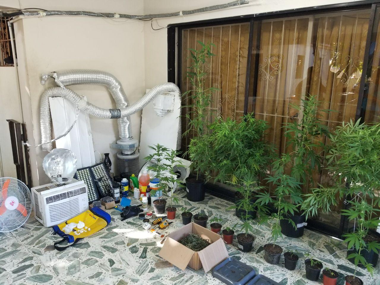 DNCD decomisa plantación de marihuana en la provincia Duarte;ocupa más de249 mil dólares en el DN