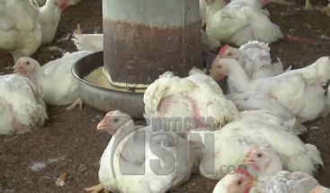 Productores avícolas toman medidas ante presencia de virus de gripe aviar en Moca