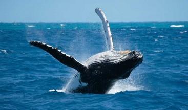 Medio Ambiente introduce nuevas normas para observar ballenas jorobadas