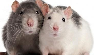 Ratas tienen conducta más adictiva con la cocaína si antes consumen alcohol
