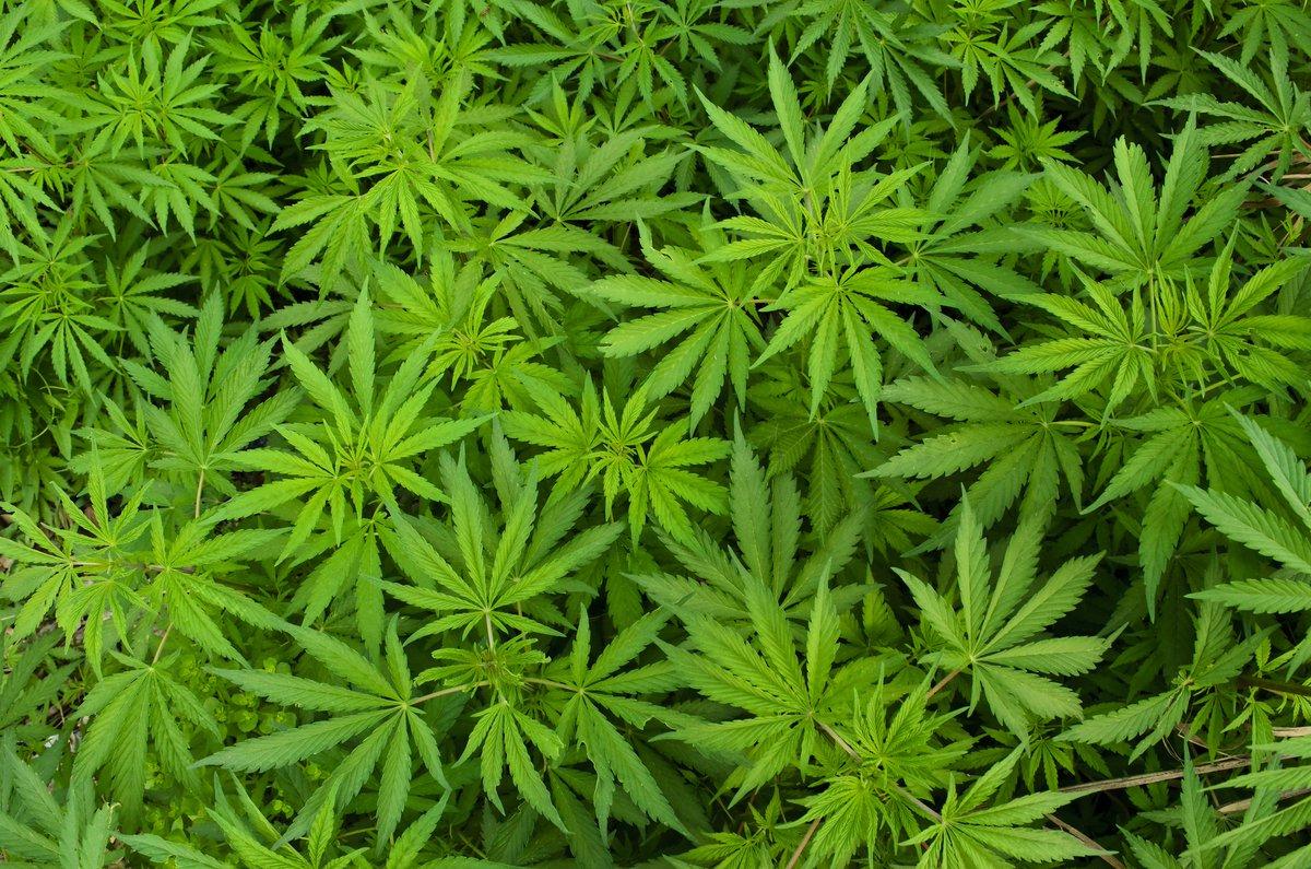 Presentan iniciativa para legalizar marihuana con fines médicos en Panamá