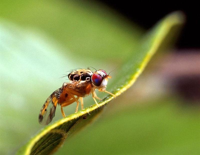 La mosca de la fruta ofrece una alternativa a los programas de reconocimiento