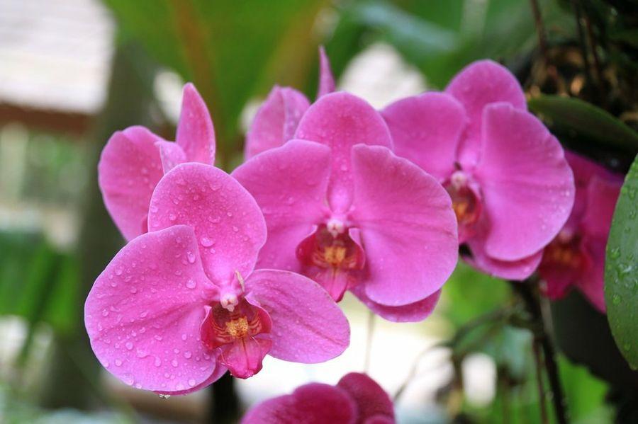 Indígenas recolectan orquídeas para pesebre de
