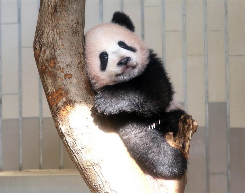 El bebé panda Xiang Xiang presentado en zoo de Tokio ante gran expectación