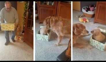 Viejo perro labrador recibe un cachorrito para Navidad y se desborda de alegría