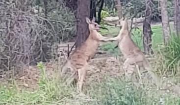 Un hombre interviene para separar a dos canguros boxeadores