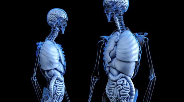 Descubren característica de la anatomía humana