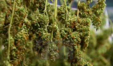 Cannabis medicinal como tratamiento para el autismo