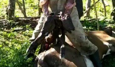 ¡Increíble! Vaca de Fernando Villalona pare becerro con dos cabezas