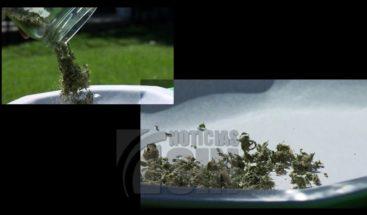 Crean primer fitofármaco hecho a base de marihuana en Chile
