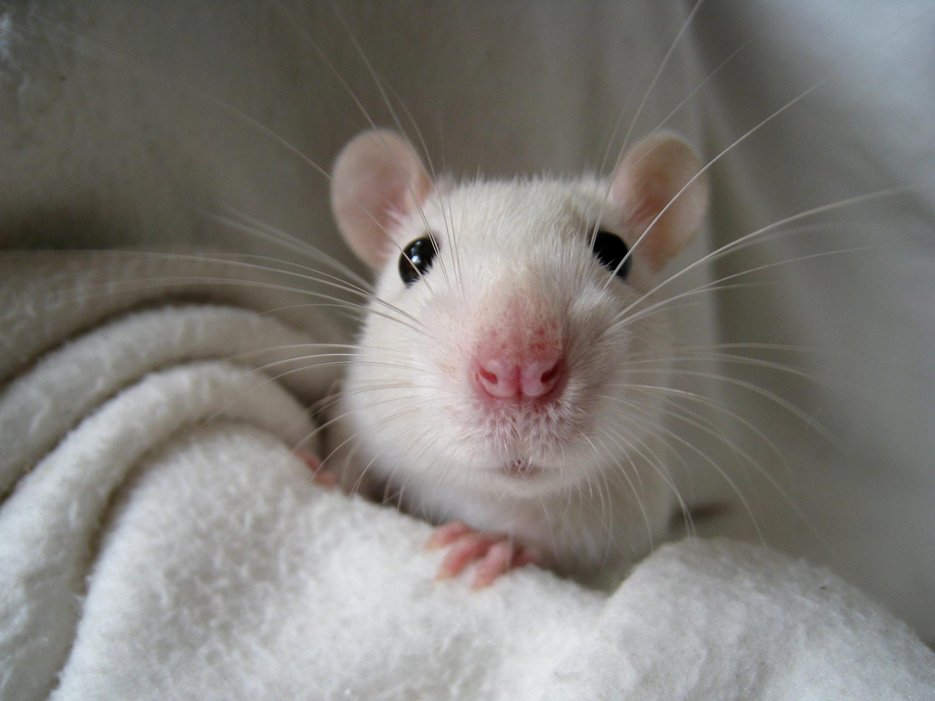 El aislamiento social crónico en ratones causa transformaciones en su cerebro