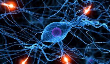 Identifican una proteína que regula formación de las neuronas de la memoria