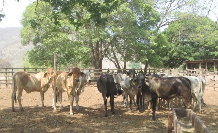 Apresan a hombre que se dedicaba a robar ganado en la comunidad de Guerra