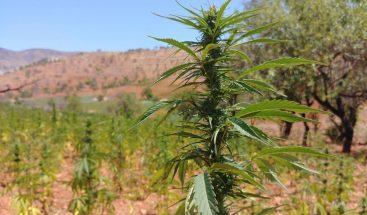Gobierno británico revisará su legislación del cannabis para uso medicinal