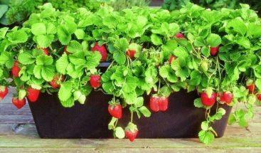 Extractos de hojas de fresas y agrimonia, aliados contra el
