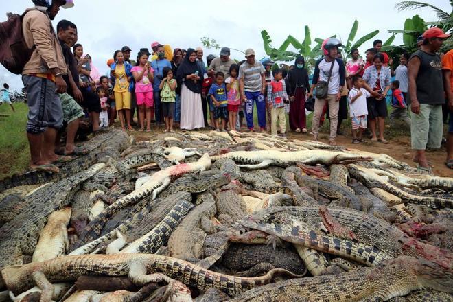 Masacran a 300 cocodrilos en Indonesia en venganza por la muerte de un vecino