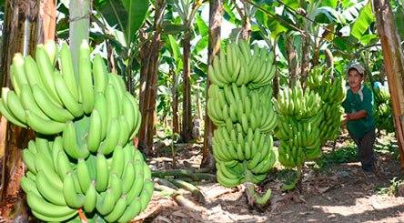 Productores de bananos afirman sector está pasando por crisis comercial en sus exportaciones