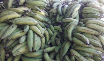 Productores de plátanos Azua denunciaron un brote de enfermedad