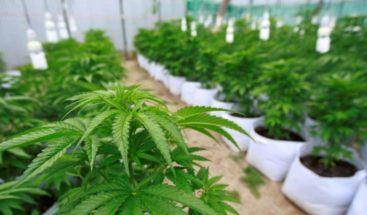 Consejo Nacional de Drogas rechaza legalización de marihuana en RD