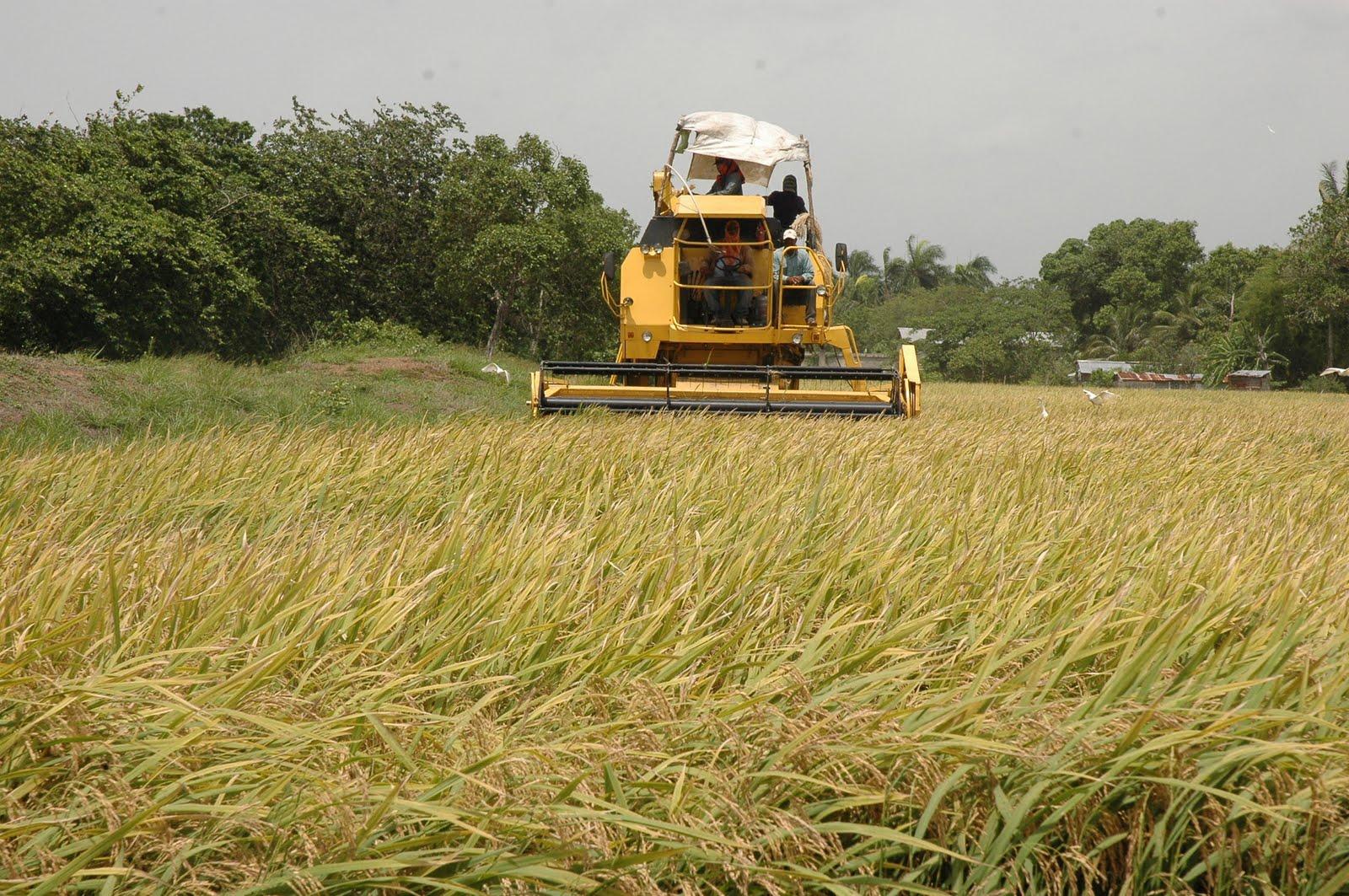 Productores de arroz piden ayuda al Gobierno ante fuerte sequía