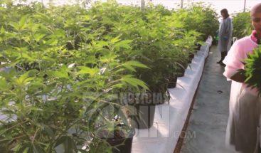 Reaccionan a propuesta de legalizar la marihuana en RD