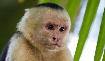 Chimpancé juega a los aviones con cría y hasta simula una turbulencia