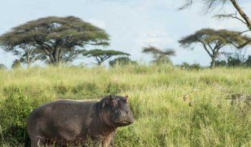 Muere turista que tomaba una foto atacado por un hipopótamo