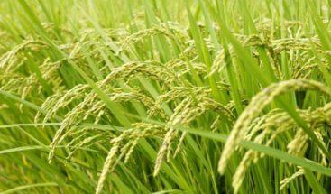 Ministro de Agricultura afirma suspensión de la tercera cosecha de arroz
