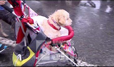 Desfile de mascotas en trajes de fiesta en Colombia