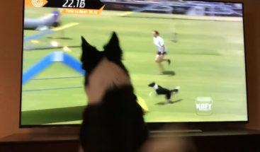 Reacción de una perra que se ve a sí misma ganando un concurso