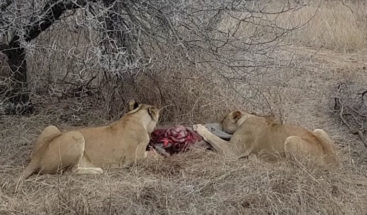 Leonas que devoran vivo a un jabalí son atacadas por manada de hienas