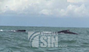 Las ballenas jorobadas se roban más de una mirada en Colombia