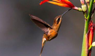 El colibrí, una ave amenazada y convertida en amuleto en nombre del amor