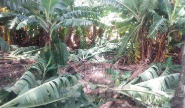 Tornado destruye unas doscientas tareas de plátanos y maíz en San Juan