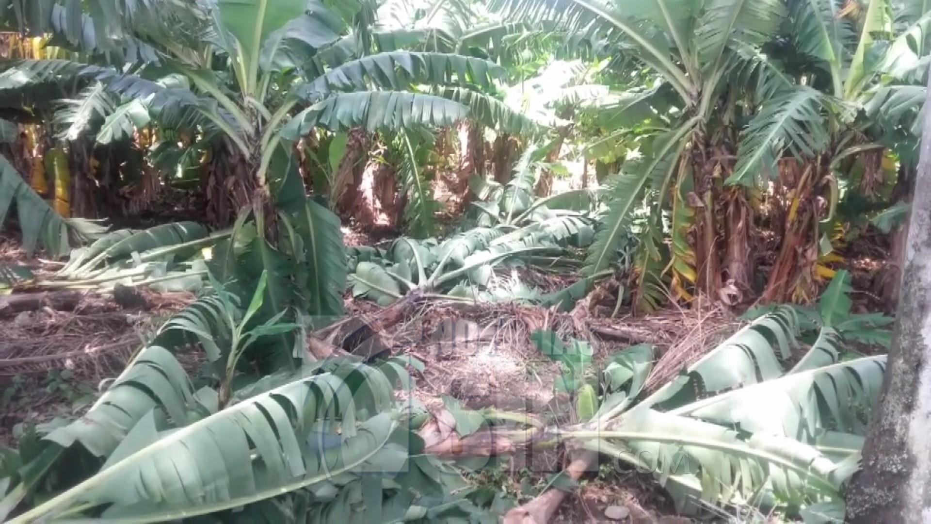 Image result for Tornado destruye unas doscientas tareas de plátanos y maíz en San Juan