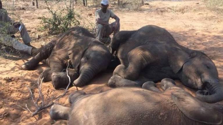 Hallan unos 90 elefantes asesinados por cazadores furtivos en Botsuana