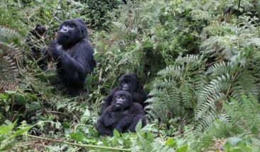 Gorilas de montaña arriesgan su vida porque necesitan sal, según estudio