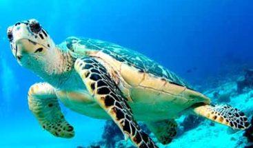Tortugas marinas tienen 22% de posibilidad de morir si ingieren plástico