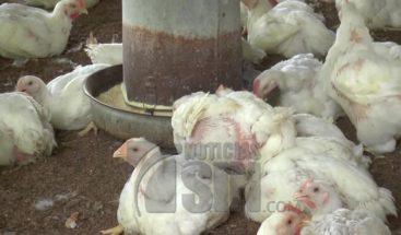 Productores avícolas dicen sobreproducción podría llevarlos a quiebra