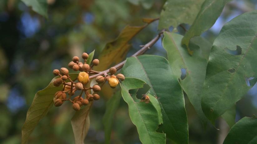 Una planta amazónica mata las células del cáncer de hígado humano