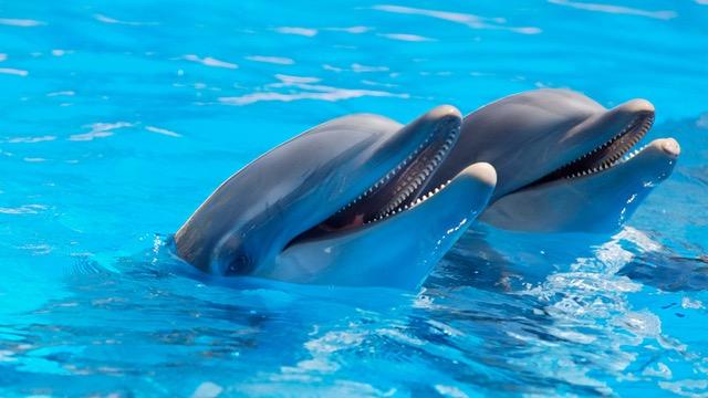 Delfines entienden el papel de sus compañeros en tareas de cooperación