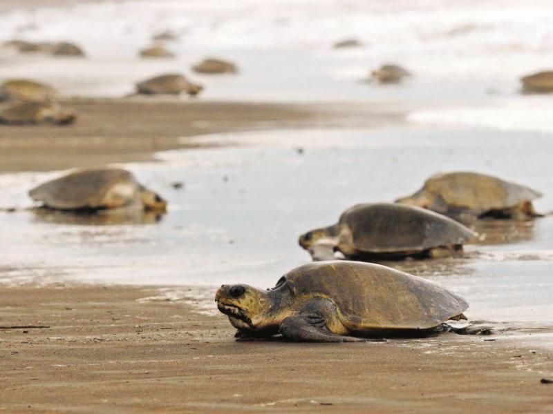 Informan población de tortugas marinas puede bajar por cambio climático