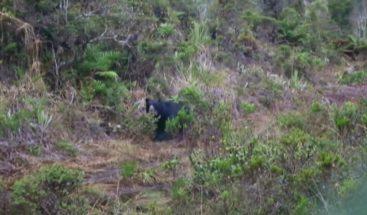 Indígena mata un oso de anteojos para comérselo en Colombia