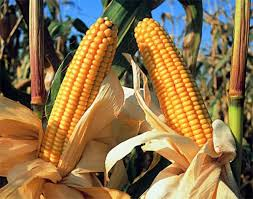 El maíz empezó a formar parte de la dieta en mesoamérica hace unos 4.700 años