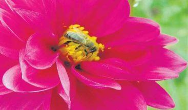 La dalia, símbolo de la floricultura mexicana que combate la diabetes