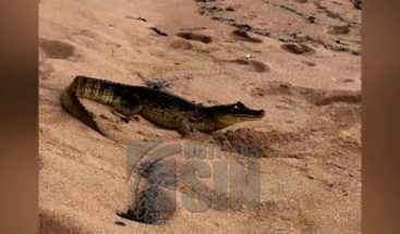 Captan a caimán saliendo de playa en Puerto Rico