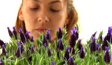 Exploran potencial uso de olor a lavanda para tratar estrés y ansiedad