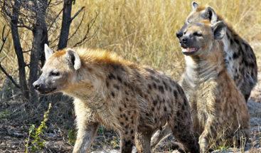 León sobrevive al ataque de una manada de más de 20 hienas